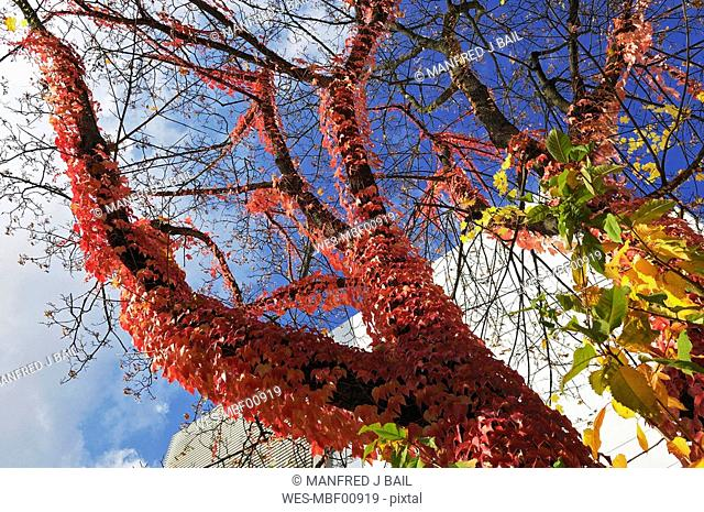 Tree overgrown with Virginia creeper Parthenocissus tricus, low angle view