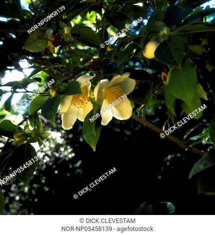 Camellia flowers and tree, Stewartia Pseudocamellia