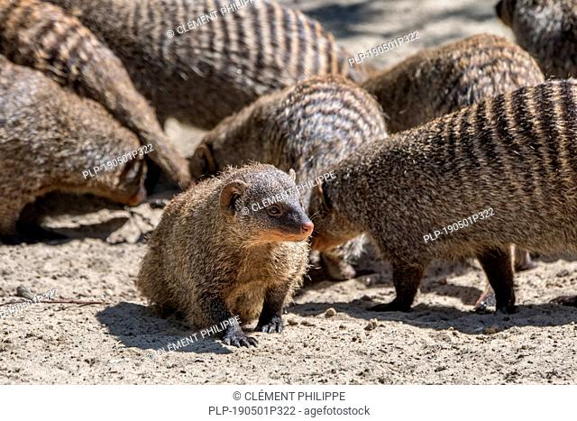 Banded mongooses (Mungos mungo) in banded mongoose colony, native to Africa
