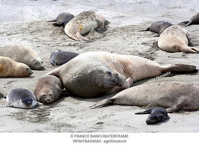 Southern Elephant Seal, Mirounga leonina, Valdes Peninsula, Patagonia, Argentina