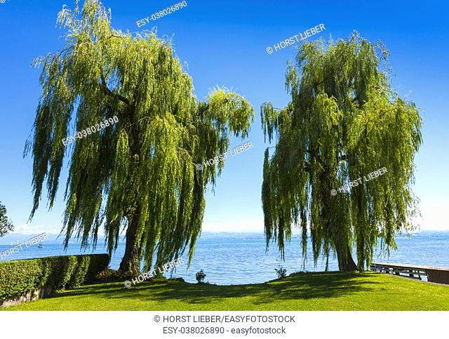 Two beautiful weeping willow and the Lake Constance in Immenstaad - Immenstaad, Lake Constance, Baden-Wuerttemberg, Germany, Europe