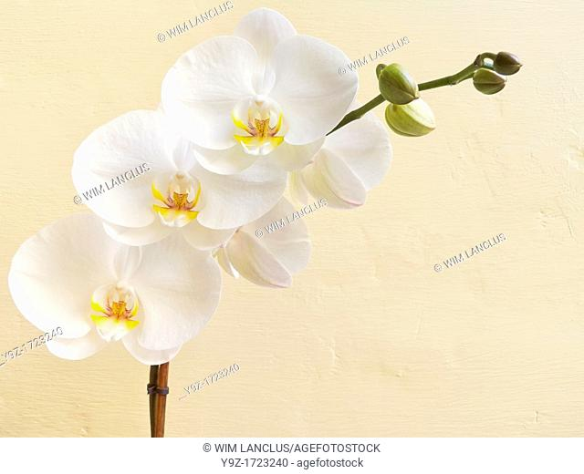 White orchid flower against yellow wall background