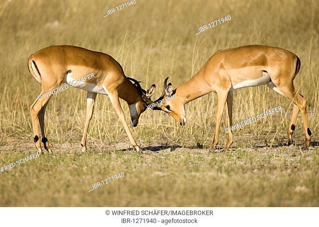 Impala (Aepyceros melampus) males fighting, Moremi National Park, Okavango Delta, Botswana, Africa