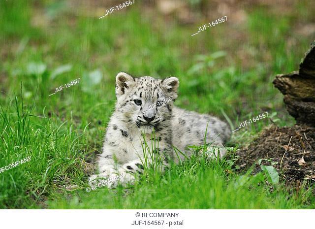 snow leopard - cub - lying / Uncia uncia