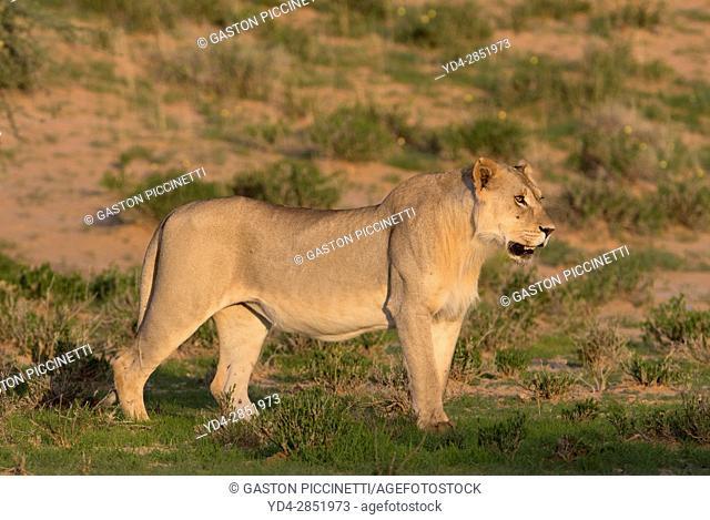 African lion (Panthera leo) - Young male, crossing the gravel road, Kgalagadi Transfrontier Park, Kalahari desert, South Africa/Botswana