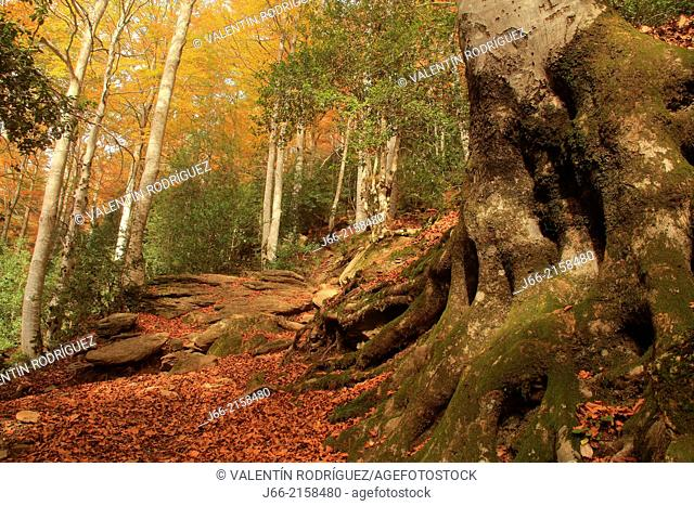 beech forest in autumn in the valley of Pineta. National Park of Ordesa and Monte Perdido. Huesca