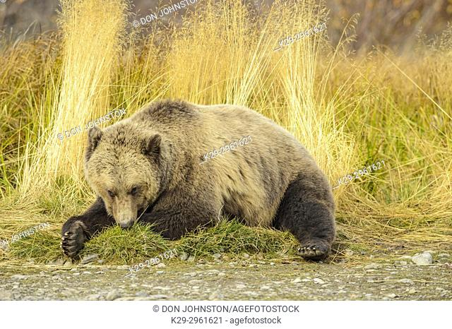 Grizzly bear (Ursus arctos)- Resting in grass on the shore of the Chilko River, Chilcotin Wilderness, BC Interior, Canada