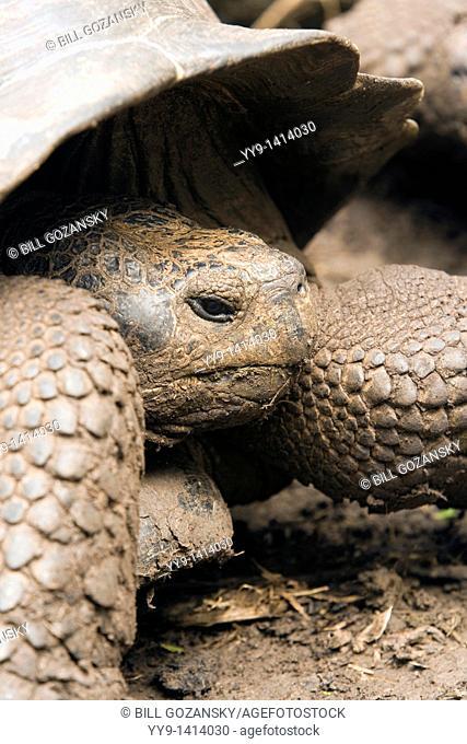 Galapagos Tortoise - Santa Maria Floreana o Charles Island - Galapagos Islands, Ecuador