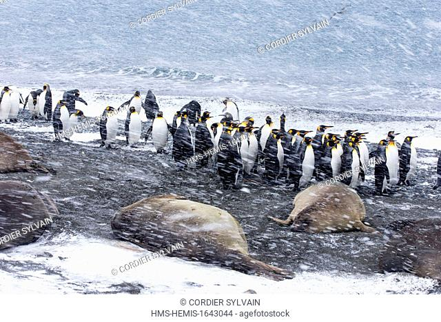 Antarctic, South Georgia Island, Salysbury plains, King Penguin (Aptenodytes patagonicus), adults in the snow and the mist, with elephants seals on the beach