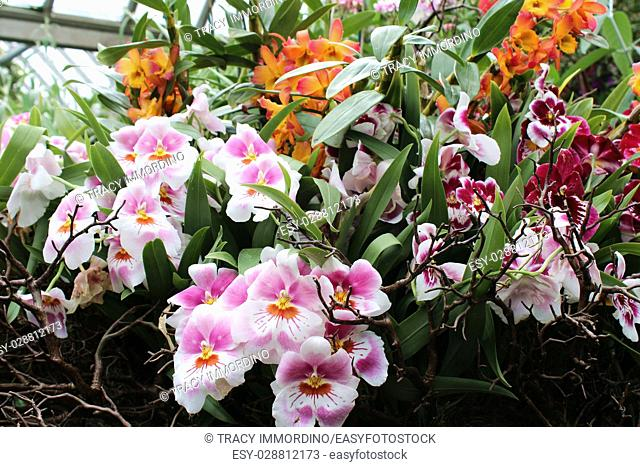A grouping of pink, white, orange and yellow Miltoniopsis orchid flowers in full bloom surrounded by branches, orange Cattleya and red Miltoniopsis orchids in...
