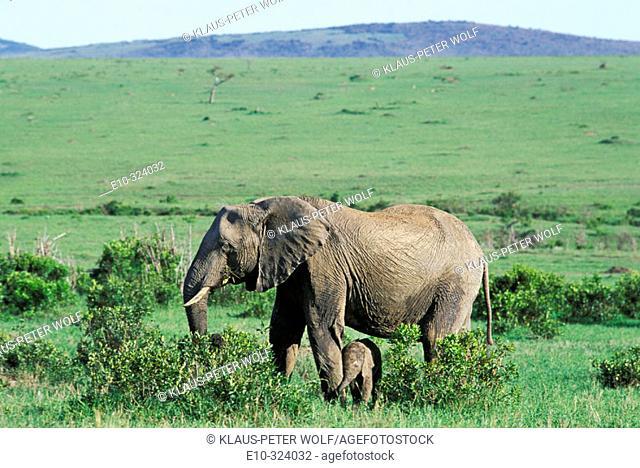 Elephant with calf (Loxodonta africana). Masai Mara. Kenya