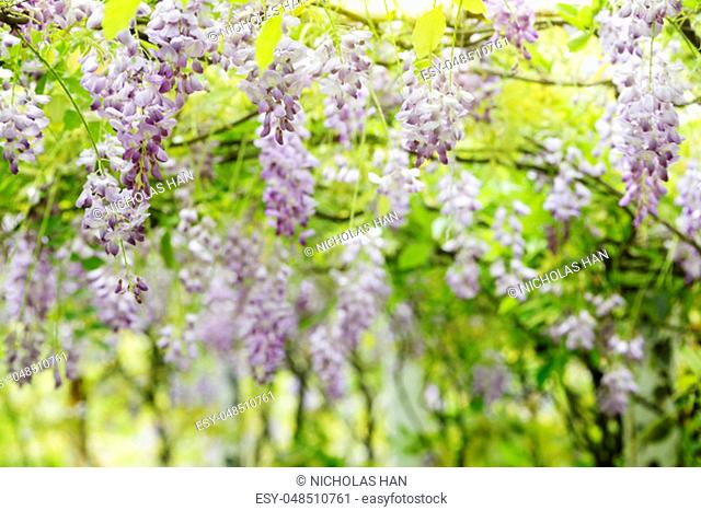 The Nice wisteria blossom on Garden background with nice color