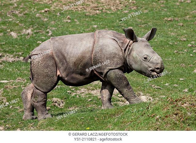 Indian Rhinoceros, rhinoceros unicornis, Male Calf