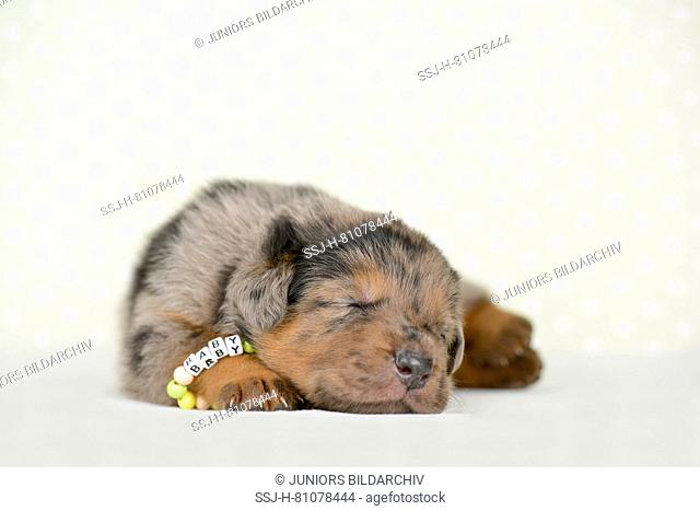 Old German Shepherd Dog. Puppy (4 weeks old) sleeping. Studio picture against a white background. Germany