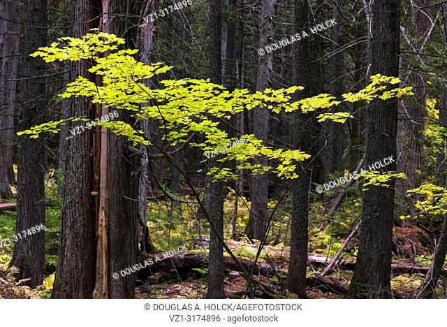 Fall Color on Trail of the Cedars in Glacier National Park Montana USA