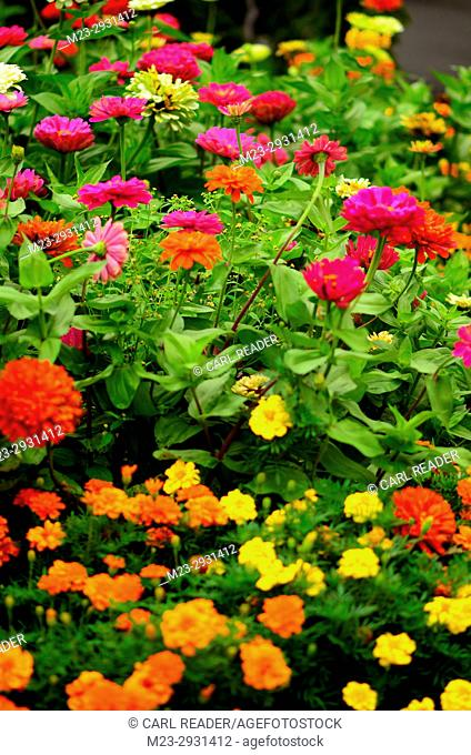 Zinnias and marigolds in soft-focus, Pennsylvania, USA