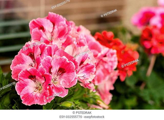 multicolored geraniums in bloom