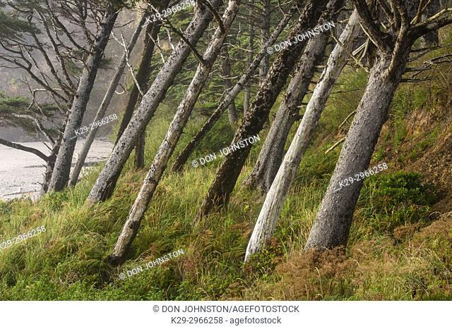 Leaning shoreline trees, Arcadia Beach State Scenic area, Oregon, USA