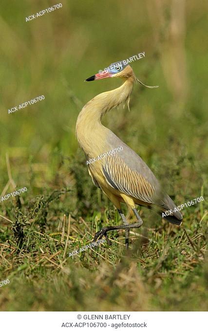 Whistling Heron (Syrigma sibilatrix) feeding in a wetland area in the Pantanal region of Brazil