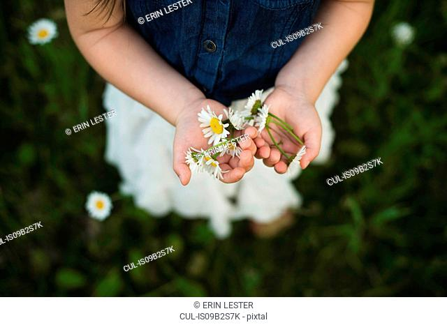 Overhead view of girl's hands holding daisy flowers