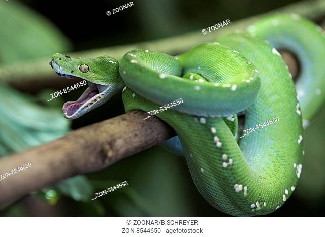 animal, attack, background, boa, branch, camouflage, close-up, closeup, cold, coldblooded, color, constrictor, danger, dangerous, emerald, exotic, eye, fauna