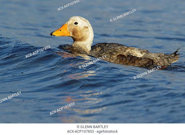 Falkland (Flightless) Steamer-Duck (Tachyeres brachypterus) swimming in the ocean in the Falkland Islands