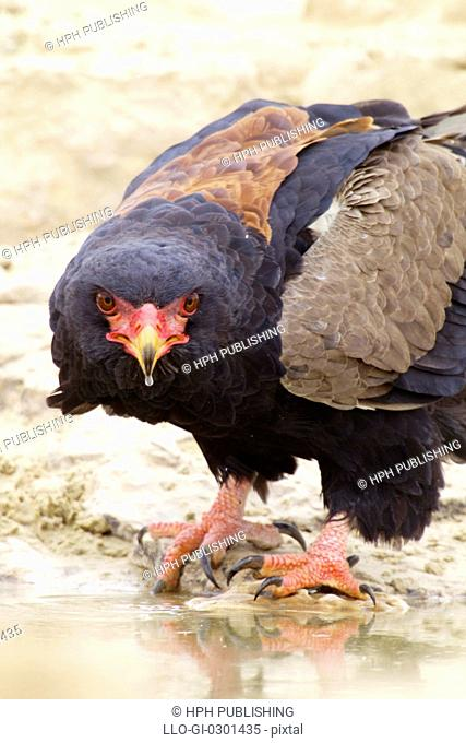 A close-up of a Bateleur Eagle looking at the camera, Kgalagadi Transfrontier Park, Northern Cape Province, South Africa