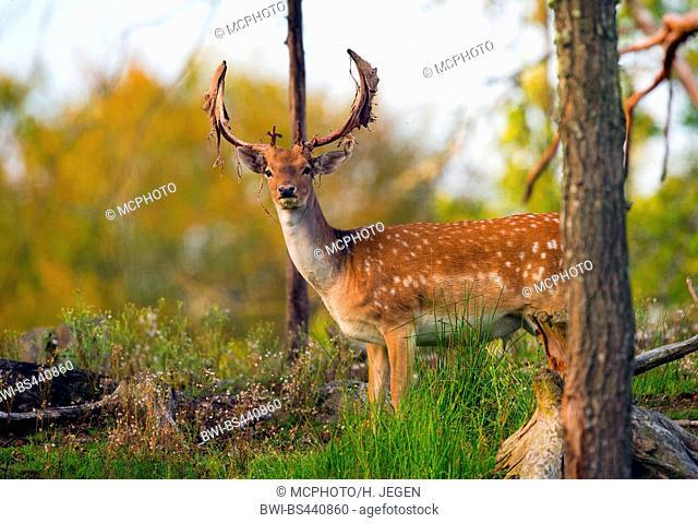 fallow deer (Dama dama, Cervus dama), stag with velvet relics at the antler, Germany, Bavaria