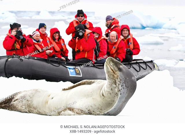 Adult female leopard seal Hydrurga leptonyx with Lindblad Expedition guests at Brown Bluff near the Antarctic Peninsula, Southern Ocean  MORE INFO The leopard...