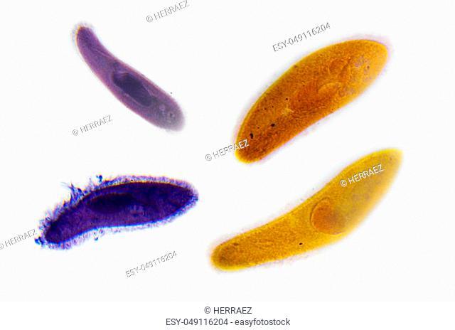 Microscopy Photography. Paramecium