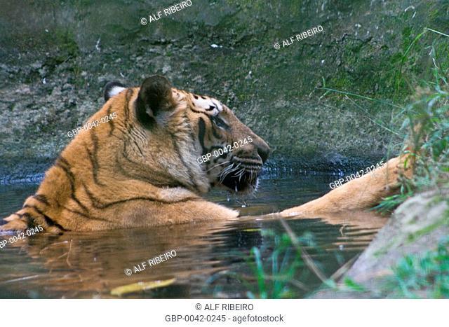 Tiger; Panthera tigris; Zoopark of Itatiba; Sao Paulo; SP; Brazil