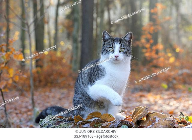 Domestic cat. Tabby and white juvenile sitting on a tree trunk in a forest. Germany