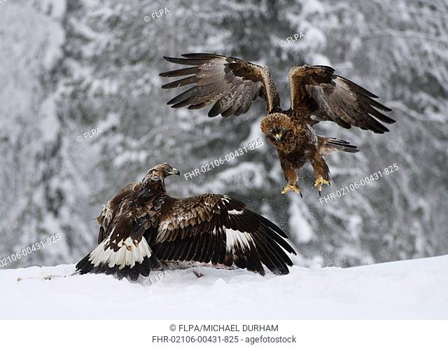 Golden Eagle (Aquila chrysaetos) adult and immature, fighting over carrion in snow, Utajarvi, Oulu Province, Northern Ostrobothnia, Finland, February
