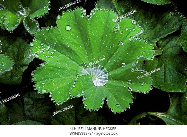 lady's-mantle (Alchemilla xanthochlora), water drops built by guttation, Germany