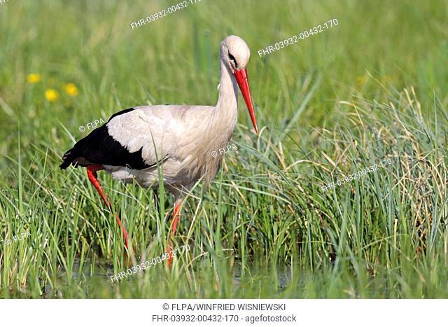 White Stork (Ciconia ciconia) adult, foraging in water, Biebrza N.P., Podlaskie Voivodeship, Poland, April