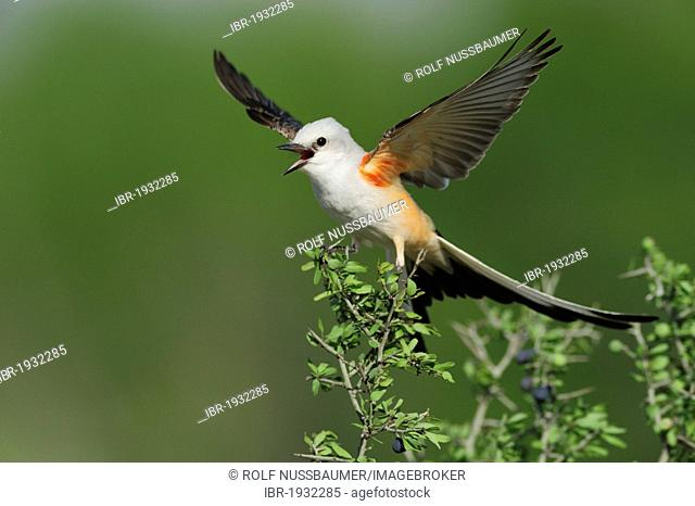 Scissor-tailed Flycatcher (Tyrannus forficatus), adult female singing on perch, Laredo, Webb County, South Texas, USA, America
