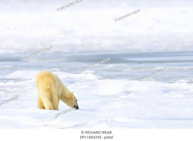 Polar Bear Ursus Maritimus Being Curious, Sniffing And Exploring Territory For Food, Churchill, Manitoba, Canada