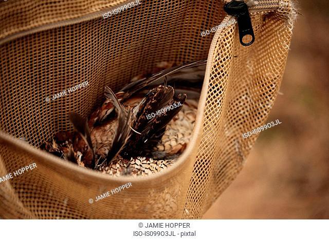Quails in hunter's satchel