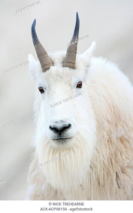 Oreamnos americanus, Mountain Goat, Rocky Mountains, Alberta