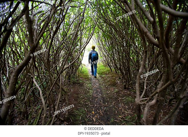 hiking through a thicket of trees in cougar annie's garden, boat basin, vancouver island, british columbia, canada