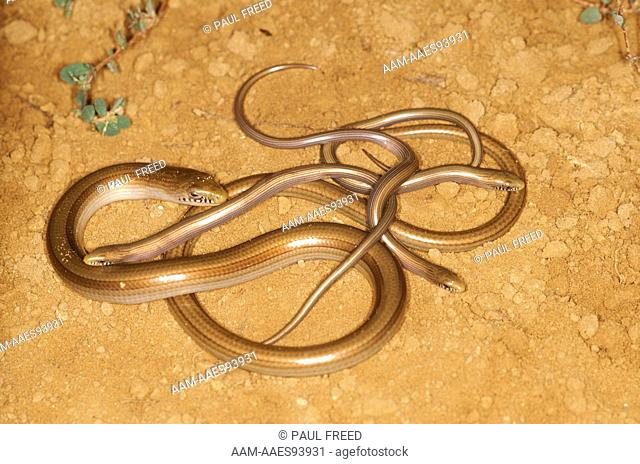 South American Worm Lizard (Ophiodes intermedius) adult female w/ newborn Paraguay
