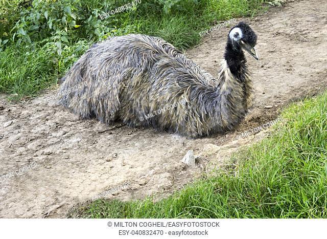Emu resting in a zoo