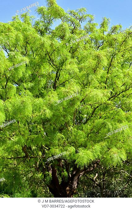 Chilean algarrobo or chilean mesquite (Prosopis chilensis) is a deciduoud tree native to Chile, Argentina and Peru
