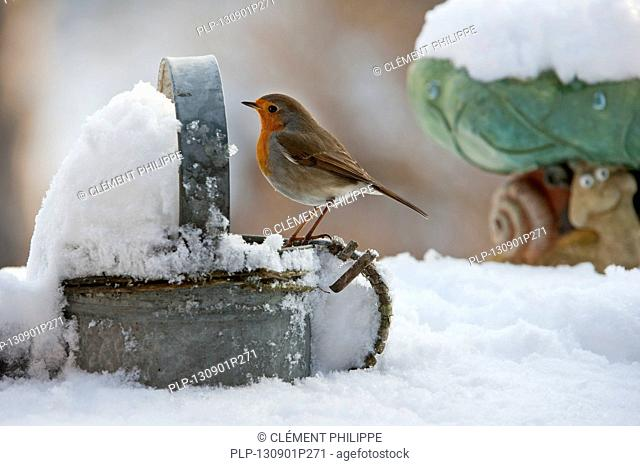 European Robin (Erithacus rubecula) perched on metal watering can in garden in the snow in winter