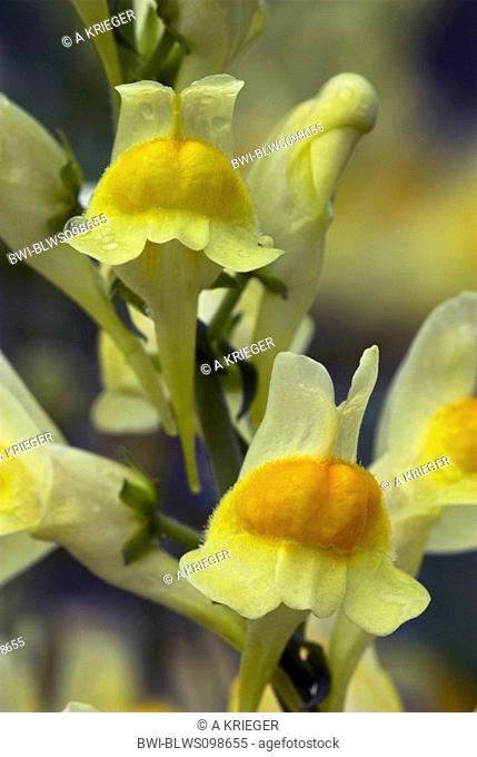 common toadflax, yellow toadflax, ramsted, butter and eggs Linaria vulgaris, blossoms with dewdrops, France, Lorraine