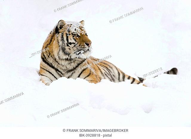 Siberian Tiger or Amur Tiger (Panthera tigris altaica), lying in the snow, captive, Saxony, Germany