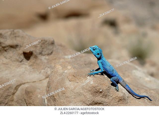 blue lizard;. Jordan, Wadi Rum desert, protected area inscribed on UNESCO World Heritage list