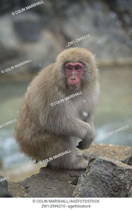 "Japanese Macaque Monkey (Macaca fuscata), aka """"Snow Monkey"""" (""""Nihonzaru"""" in Japanese), in hot spring bath with snow falling"