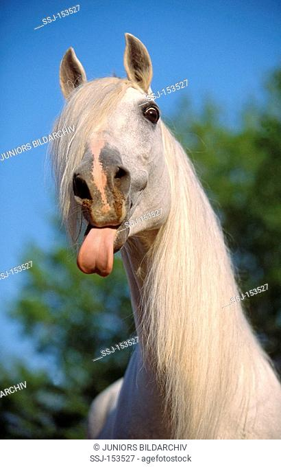 Lusitano horse - portrait - sticking out its tongue