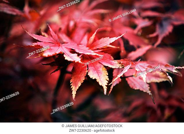 Acer palmatum variety Bloodgood Autumn/fall colours